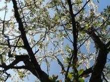 cerisier en fleur gîte le mandlé à Riquewihr